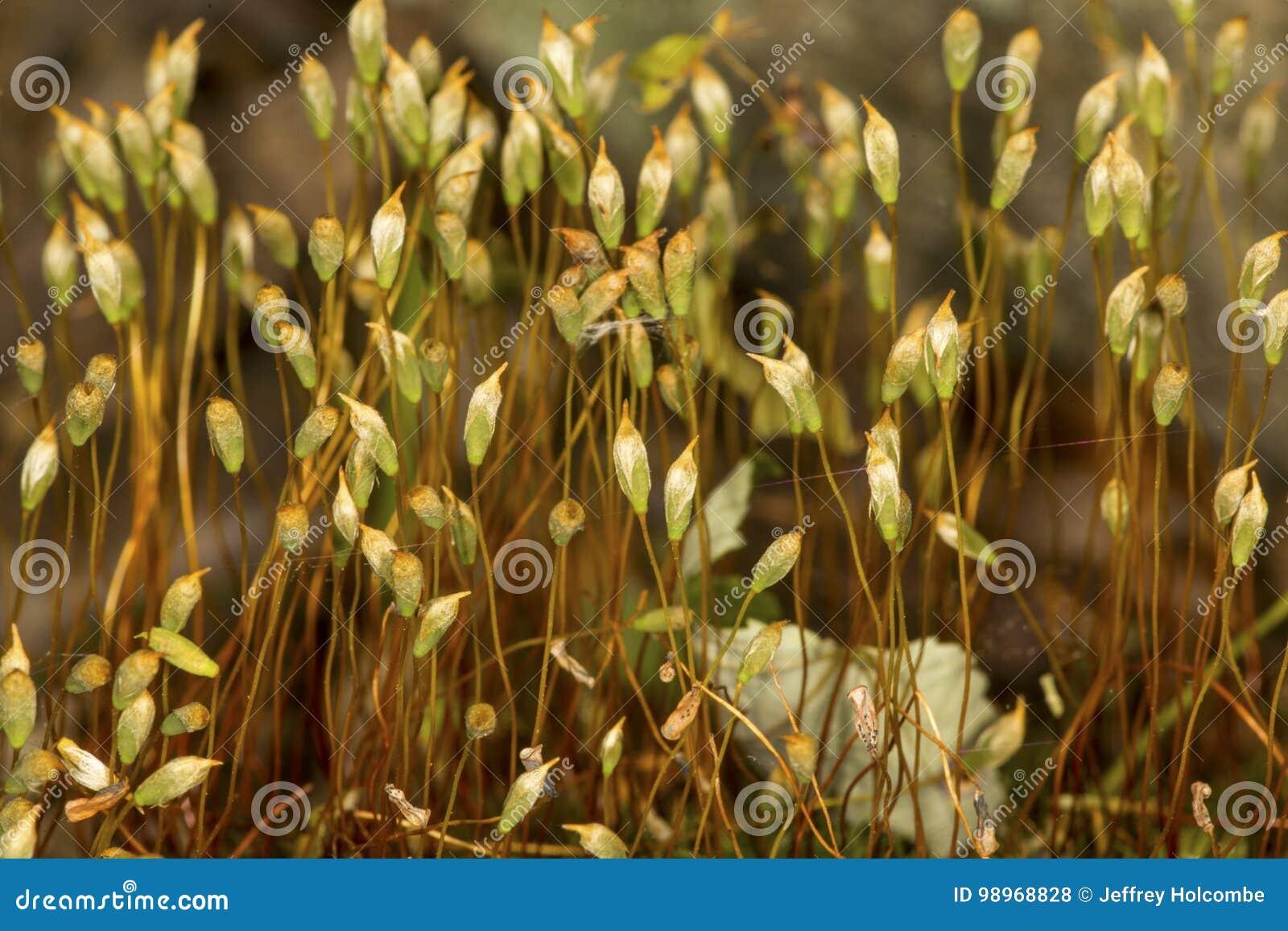 Haarkappen-Moos Sporophytes in Somers, Connecticut