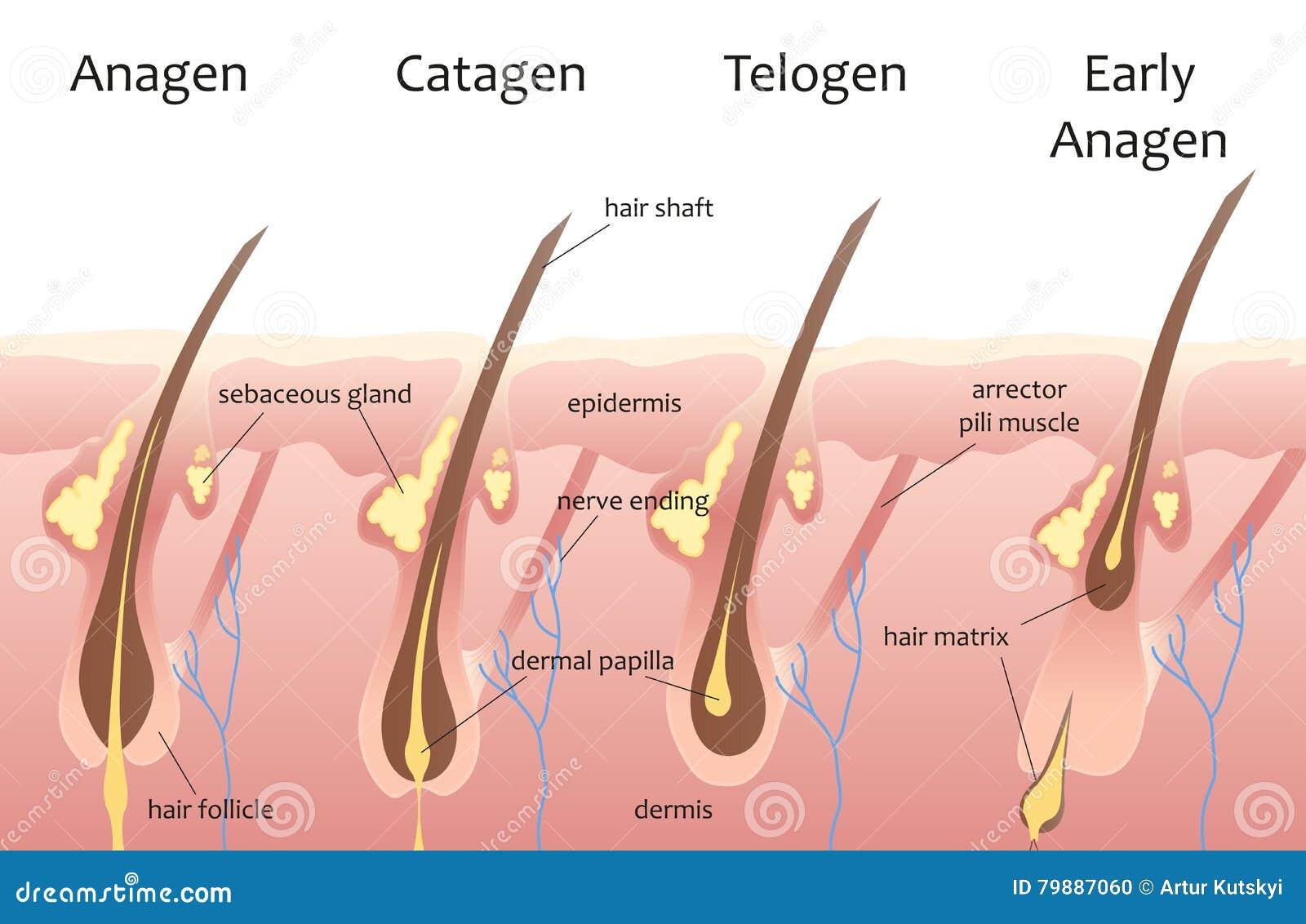 Erfreut Anatomie Des Haarwachstums Bilder - Anatomie Von ...