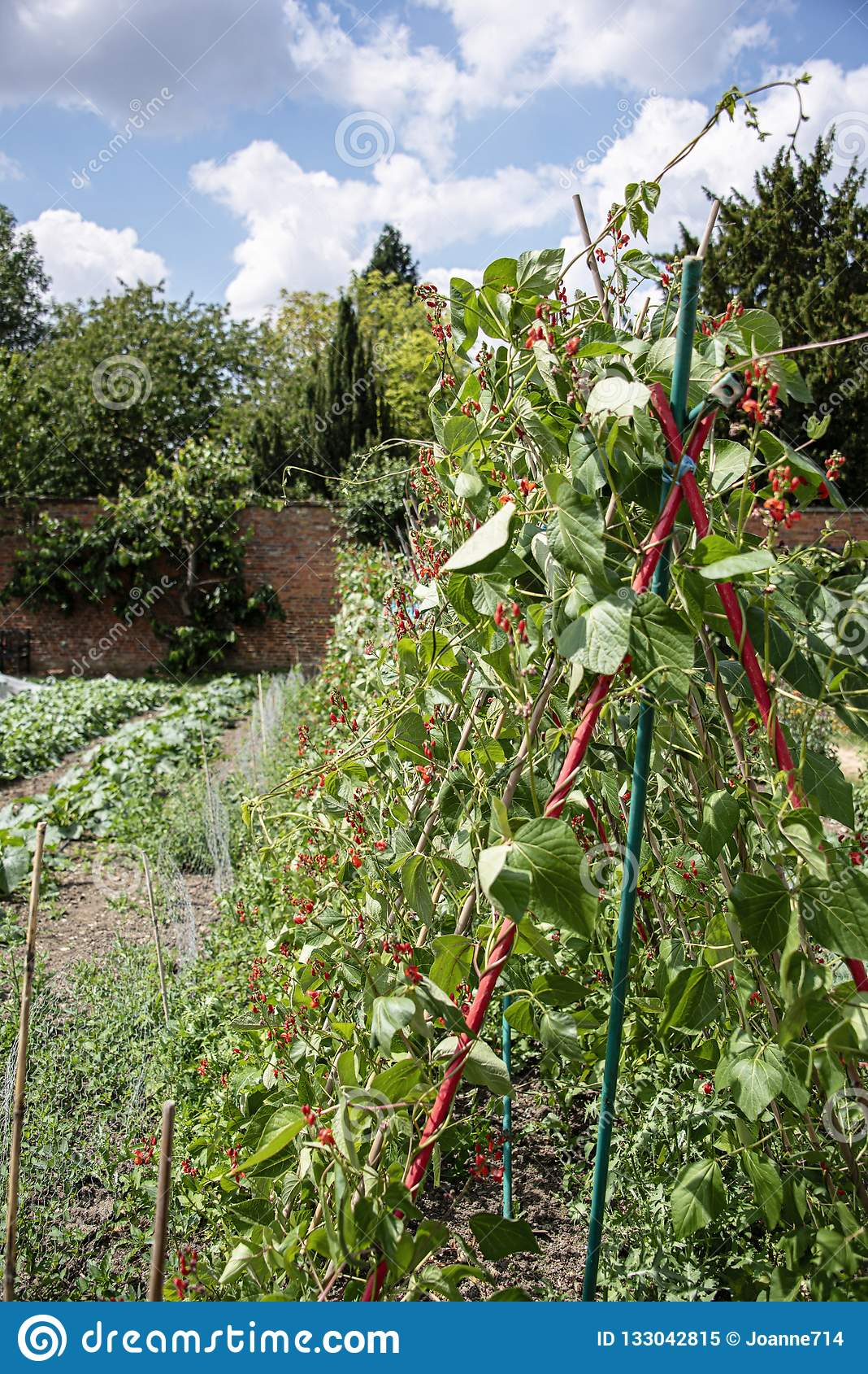 Habas verdes que crecen los bastones en el huerto emparedado