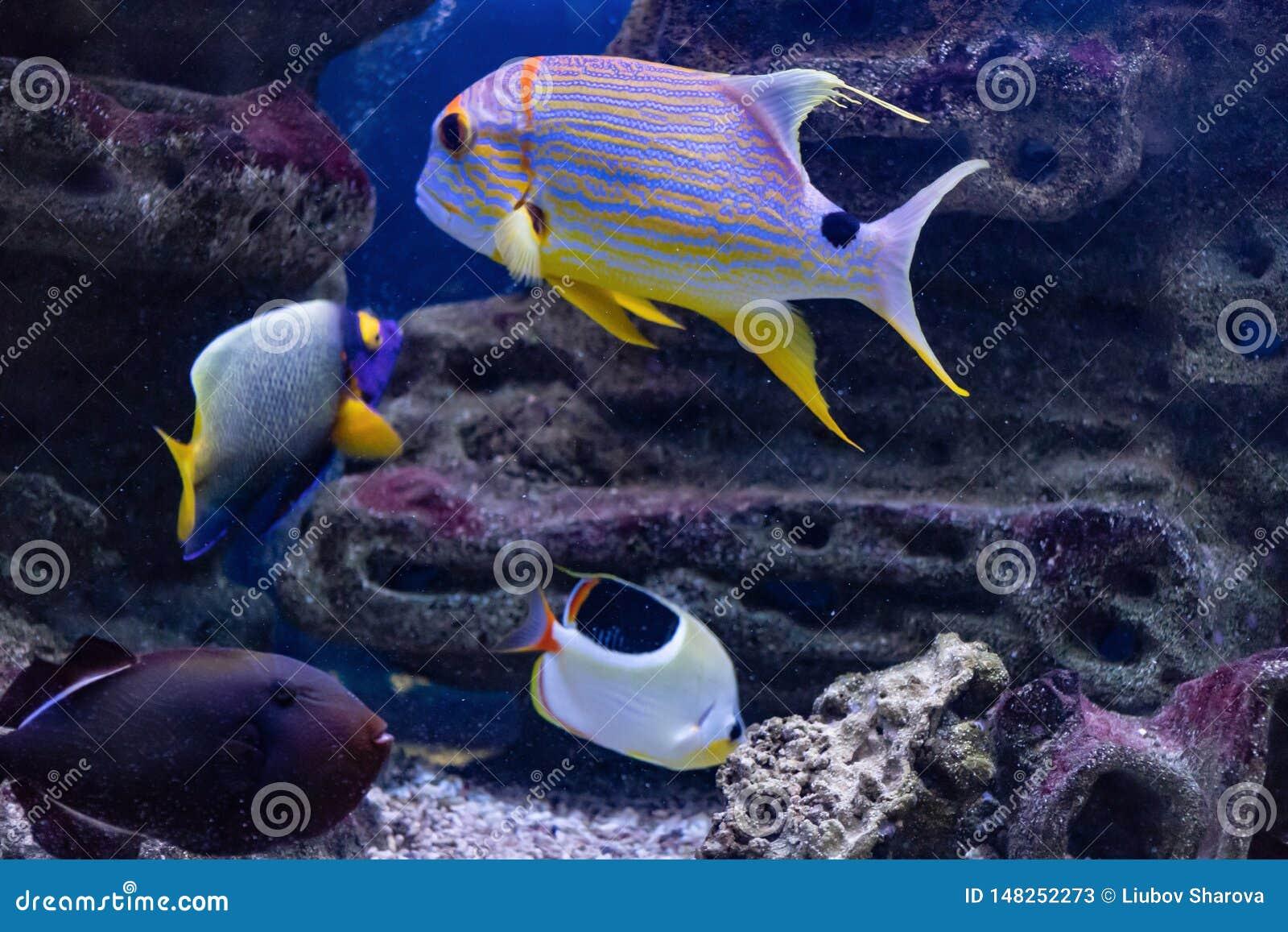Habitante predatório de Symphorichthys Spilurus do veleiro de Lucian do mundo subaquático