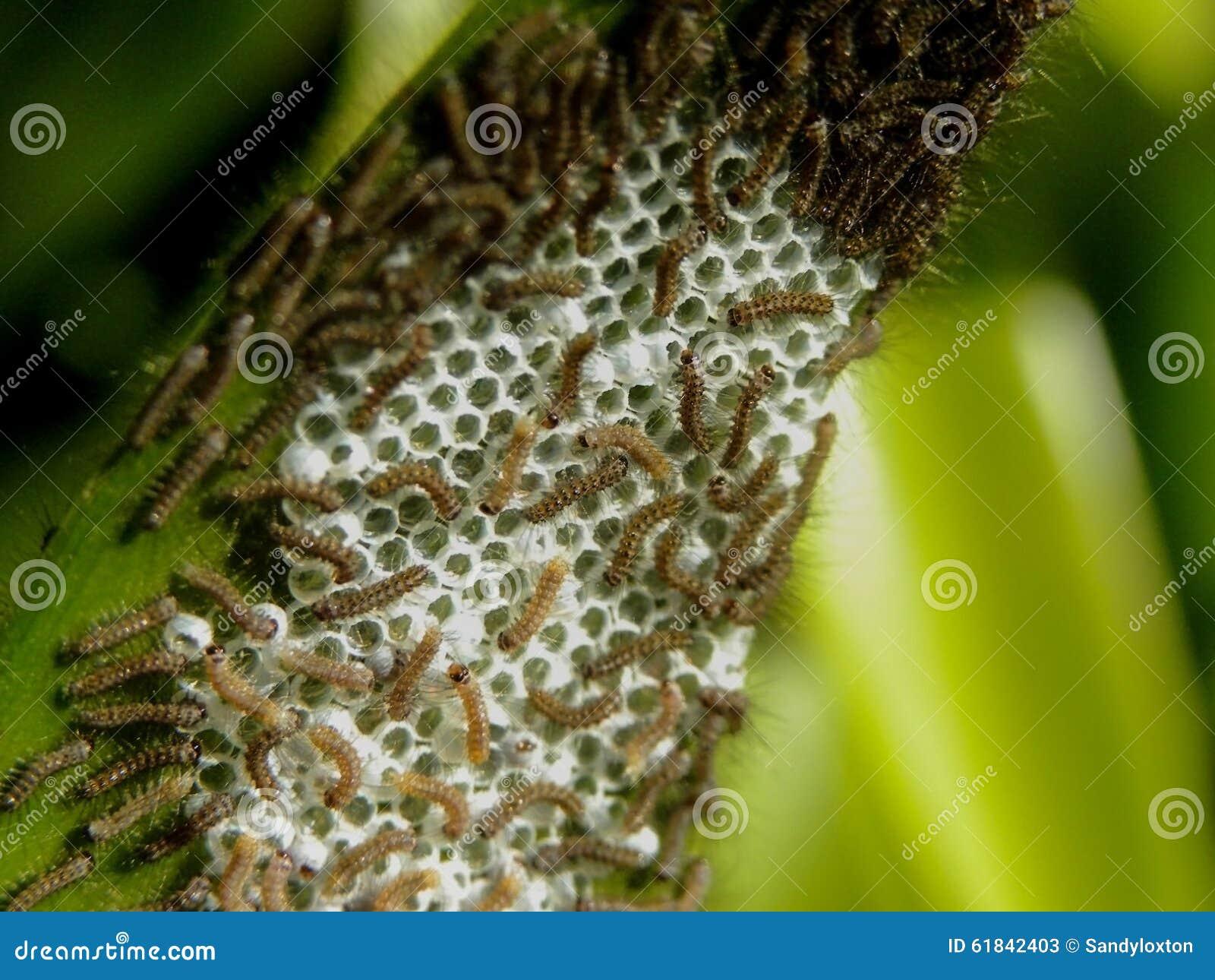 Hachure des larves de couleur tri 1 de mite de tigre image - Larve de mite ...