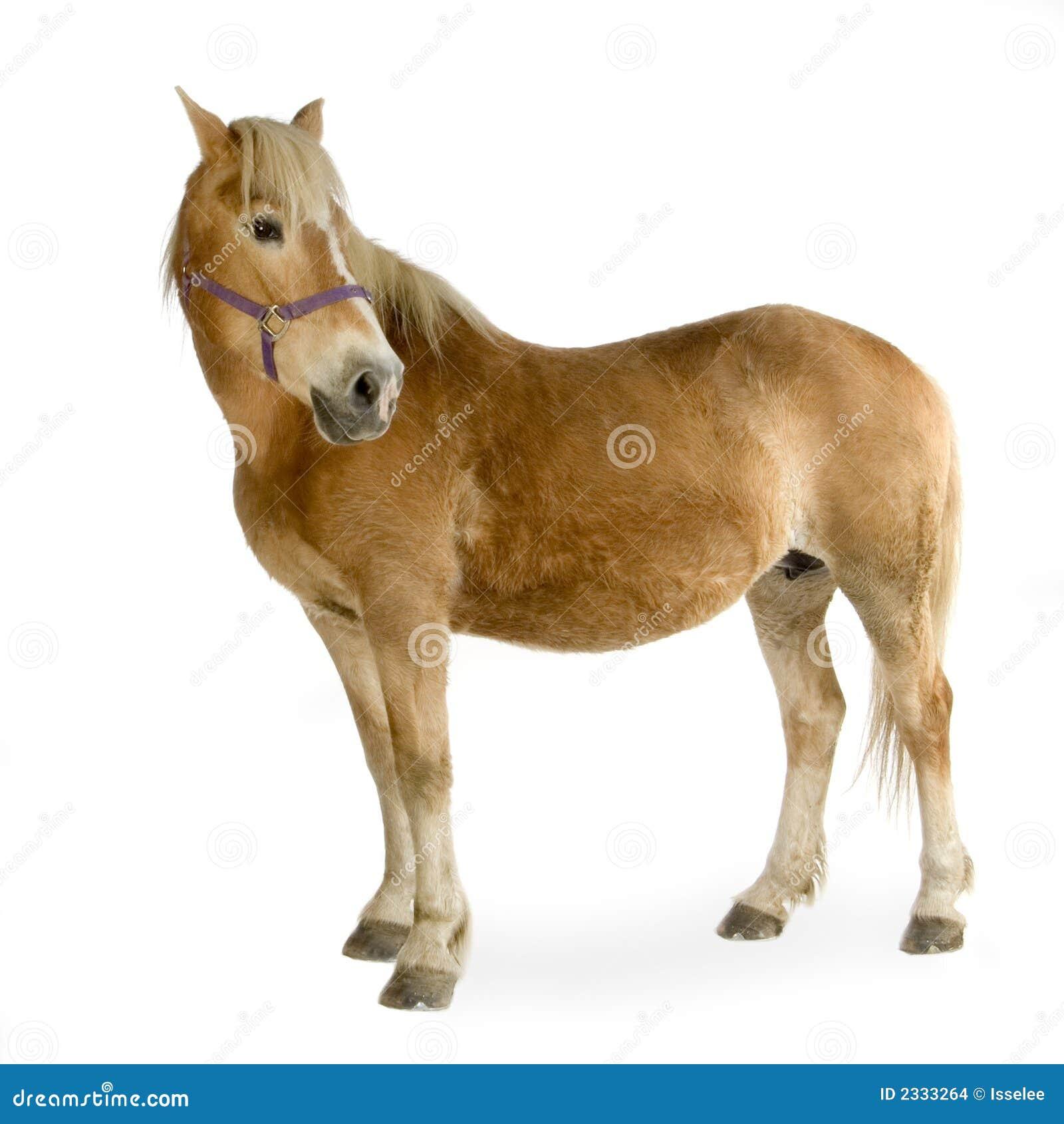 Haflinger - cheval (23 ans)