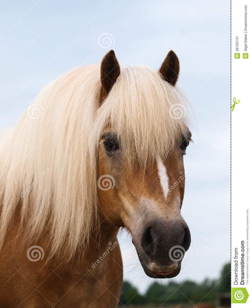 haflinger horse head shot stock image  image of look