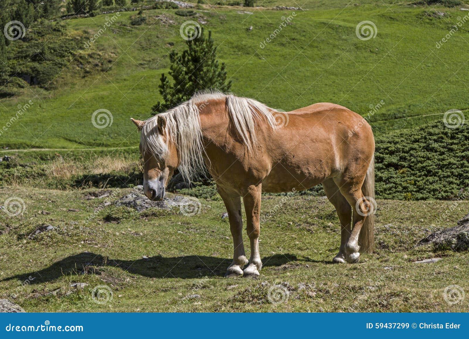 Haflinger koń