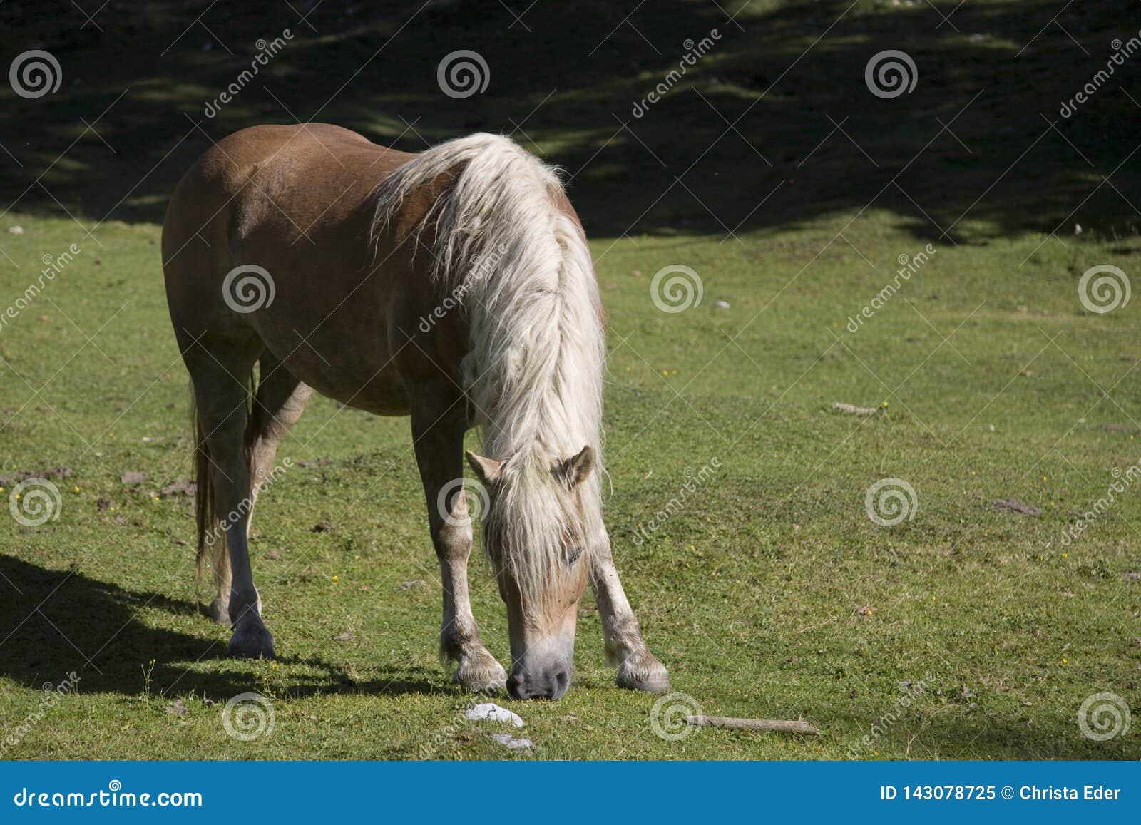 Haflinger-Pferd auf einer Bergwiese