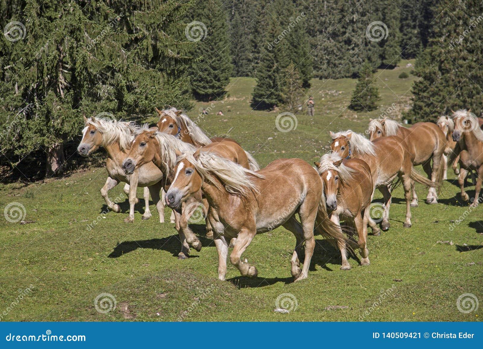 Haflinger-Pferde auf einer Bergwiese