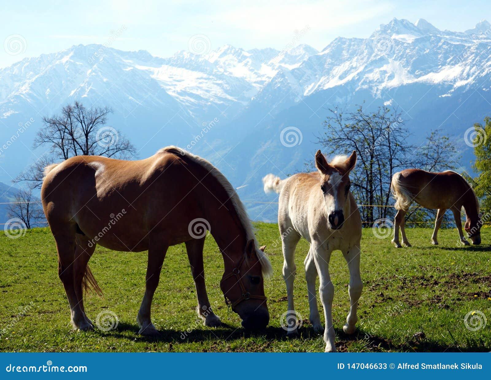 Haflinger trakenu konie w St Catarine, Po?udniowy Tirol, W?ochy