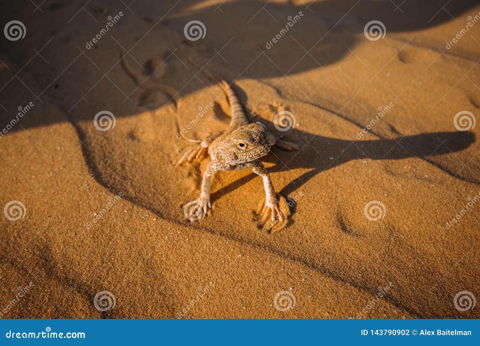 Hagedis in de woestijn op het gele zand