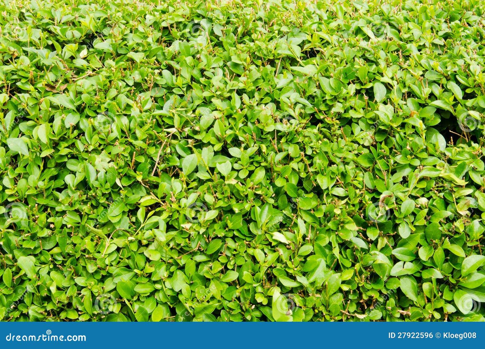 Haie d 39 arbre photo stock image du buissons lames for Fausse haie de jardin
