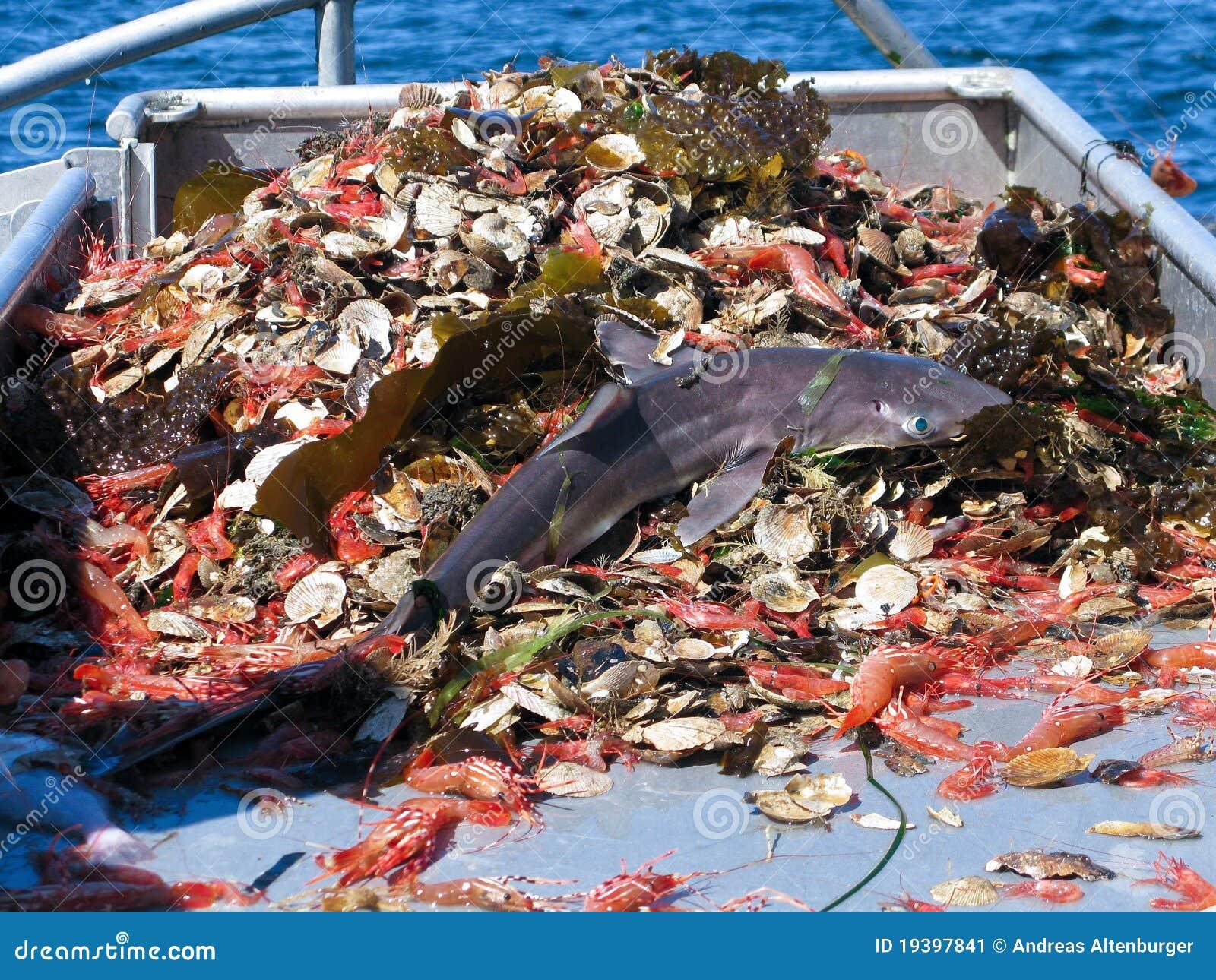 Haifisch als Bycatch