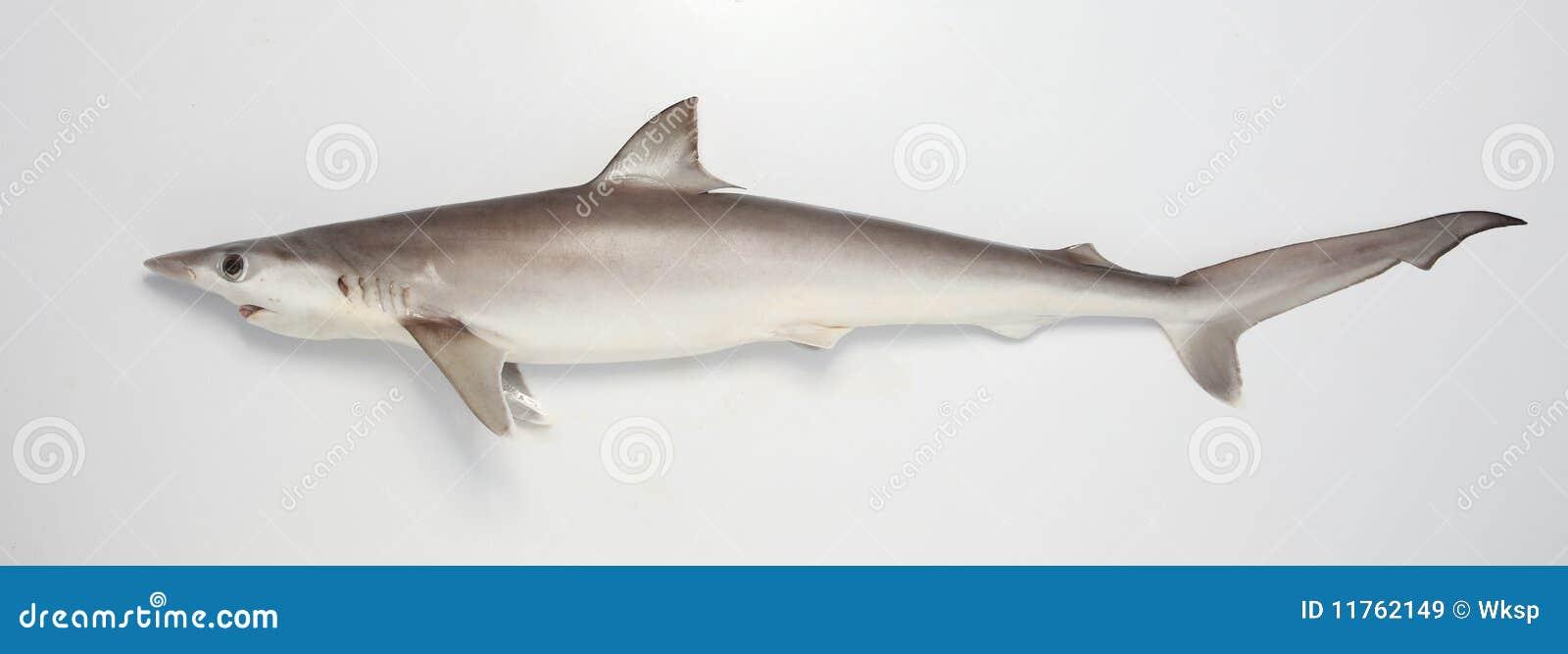 Haifisch auf dem Prowl