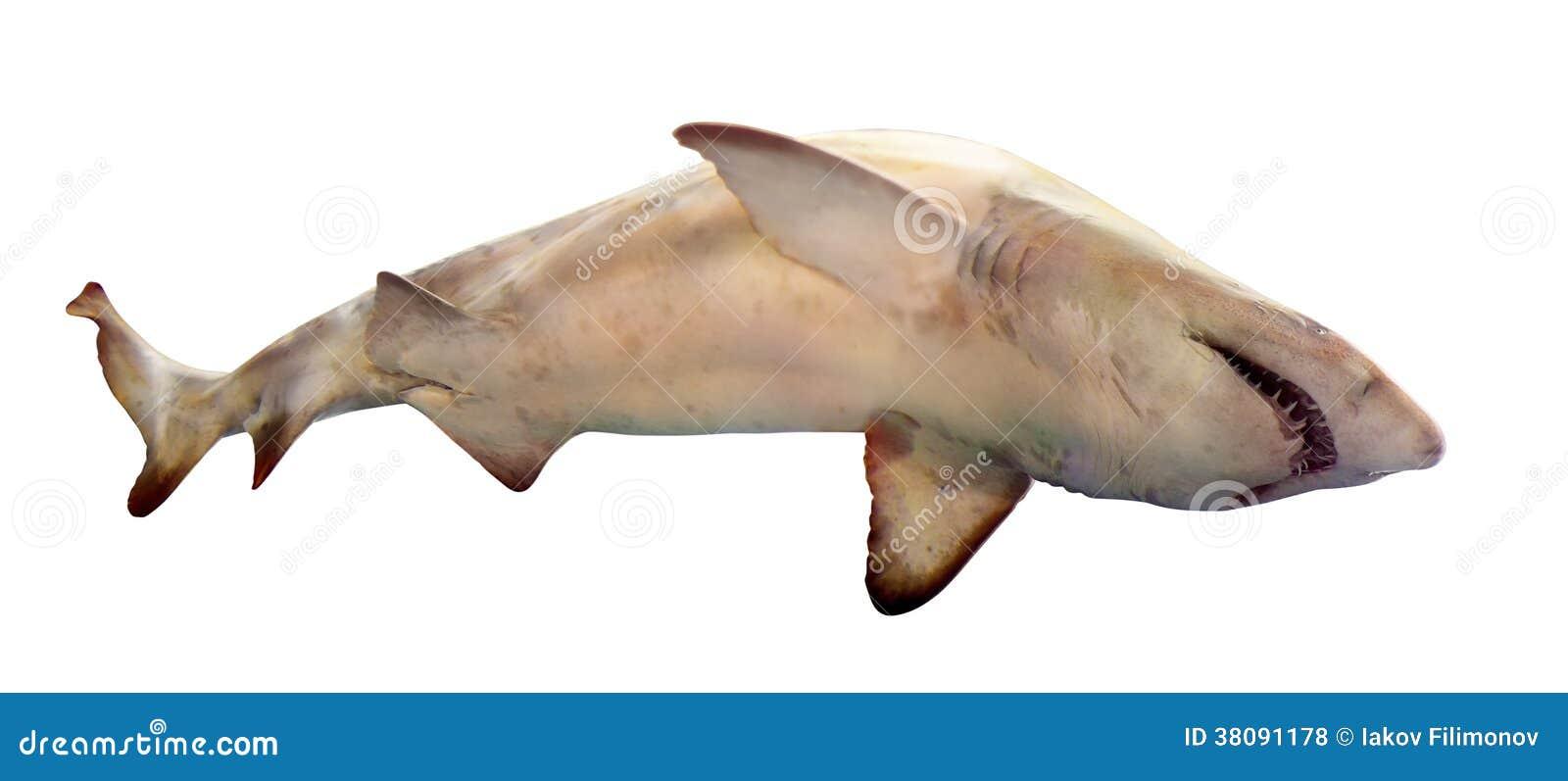 Haifisch. Lokalisiert über Weiß