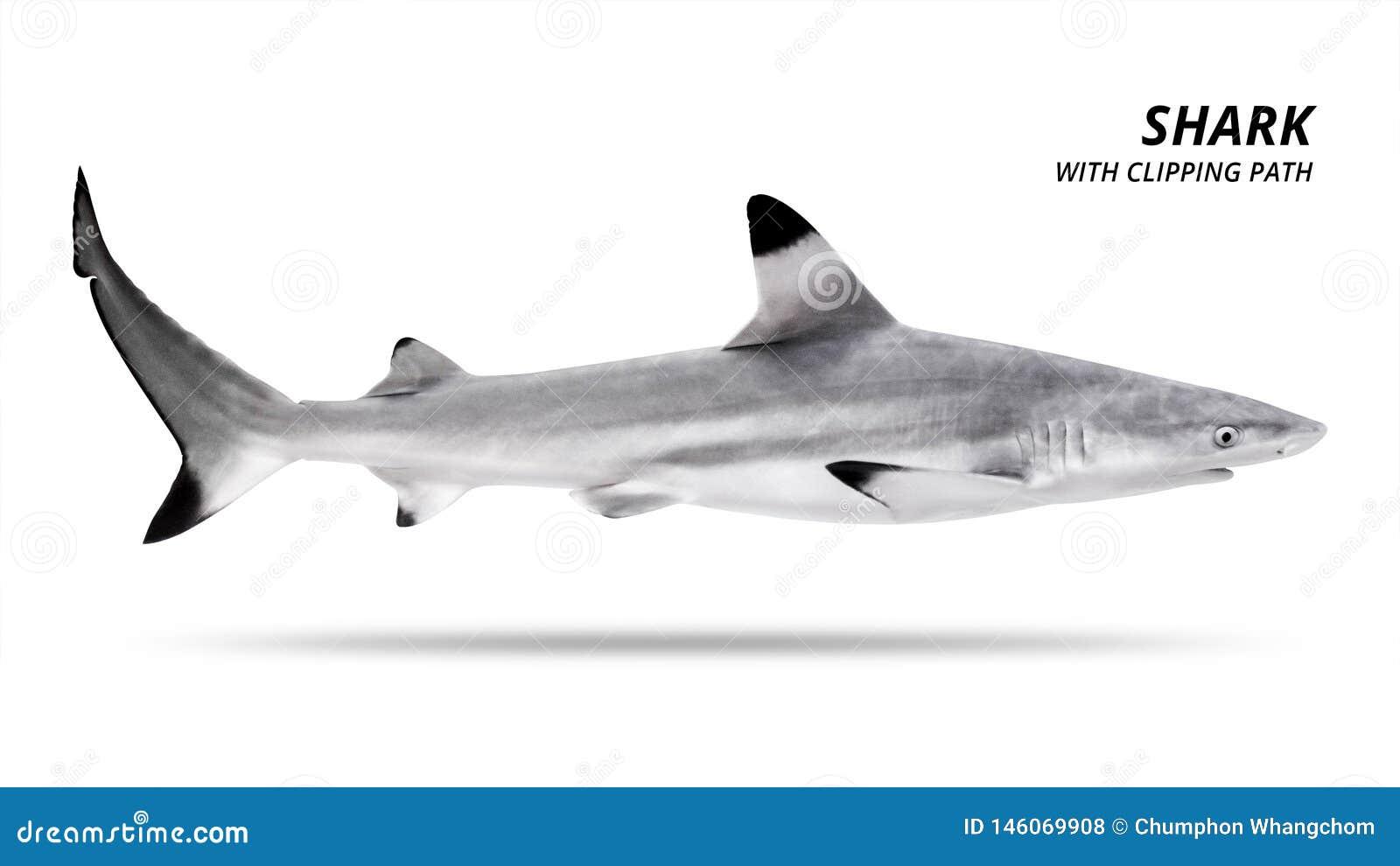 Haifisch lokalisiert auf wei?em Hintergrund Blacktip-Fische ?ber Wei?