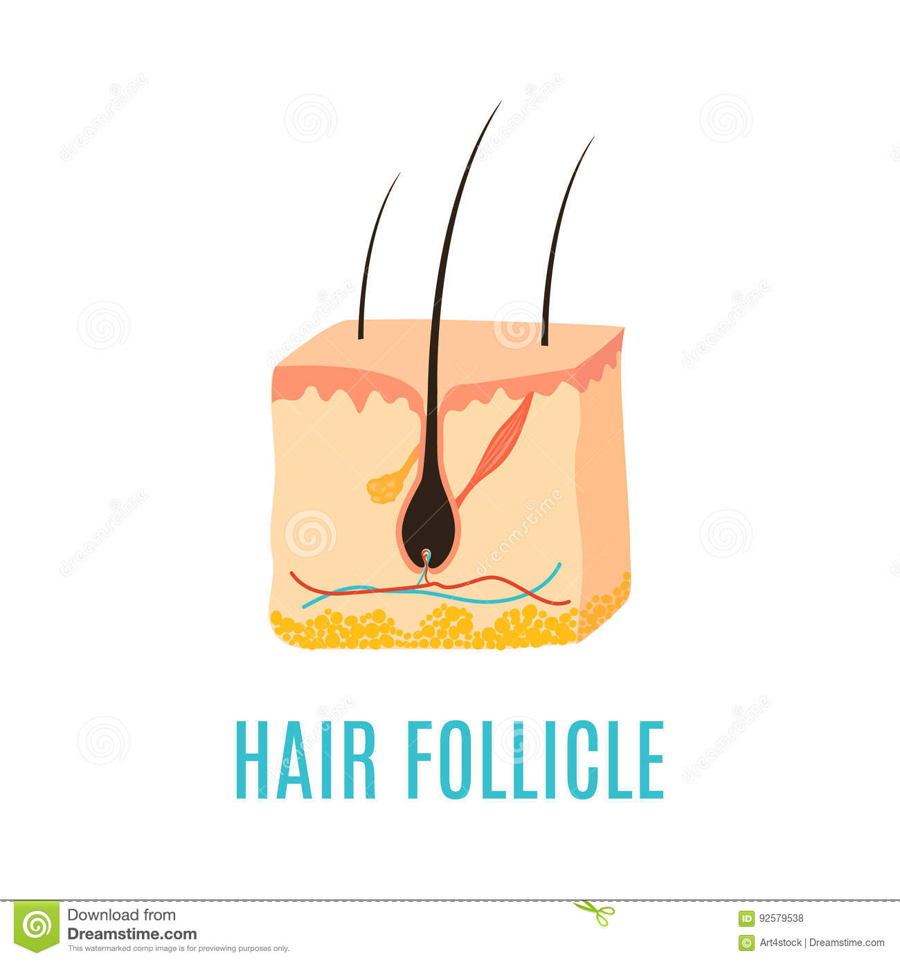 Follicle Cartoons  Illustrations  U0026 Vector Stock Images