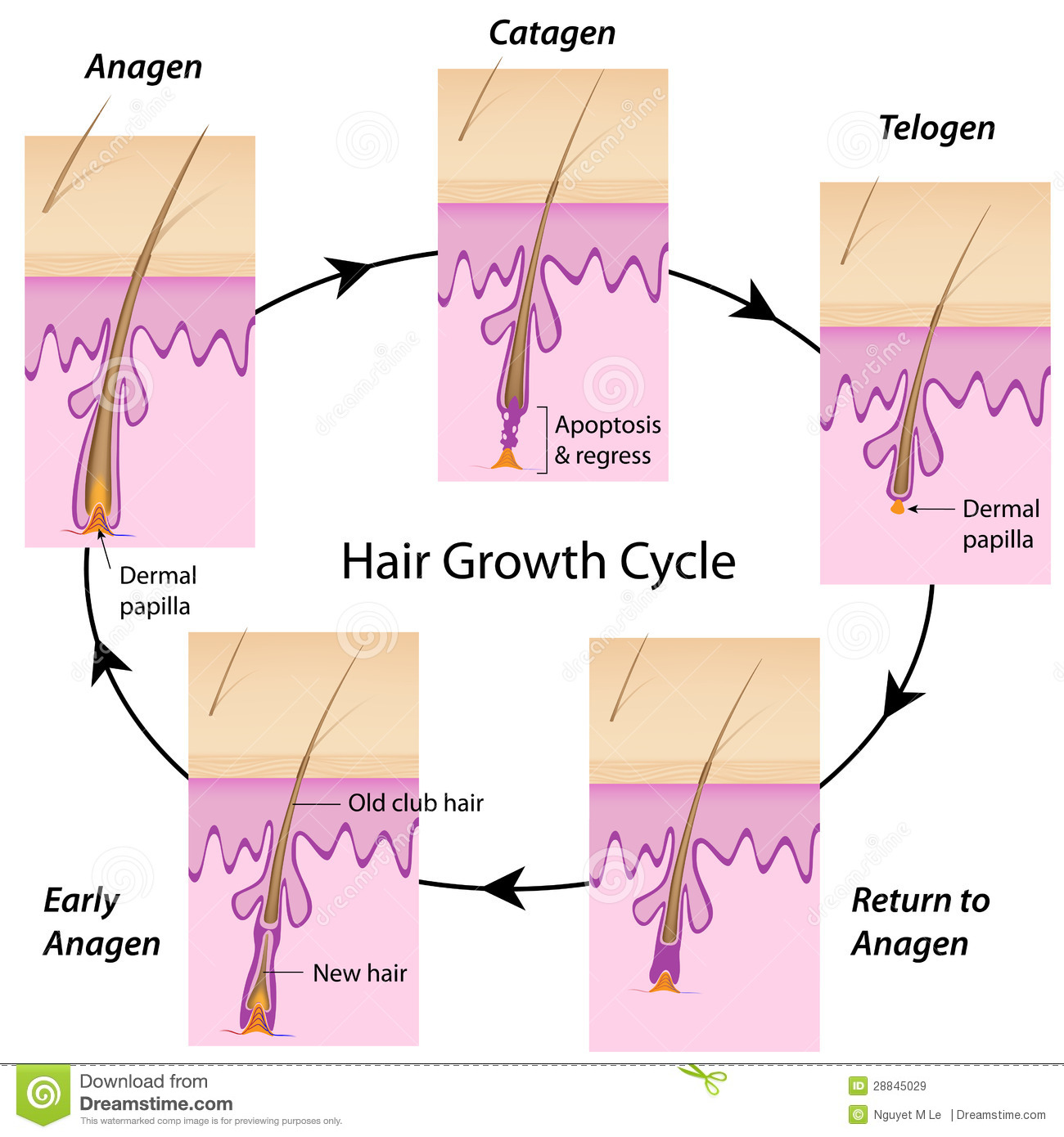 The cycle of hair growth in human with anagen, catagen and telogen ...
