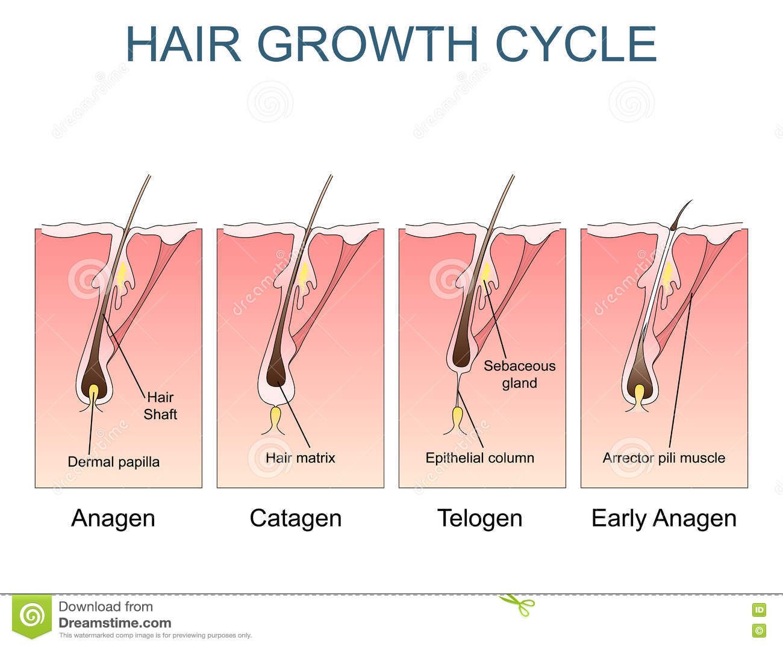 Hair Growth Cartoon Vector   CartoonDealer.com #57444969