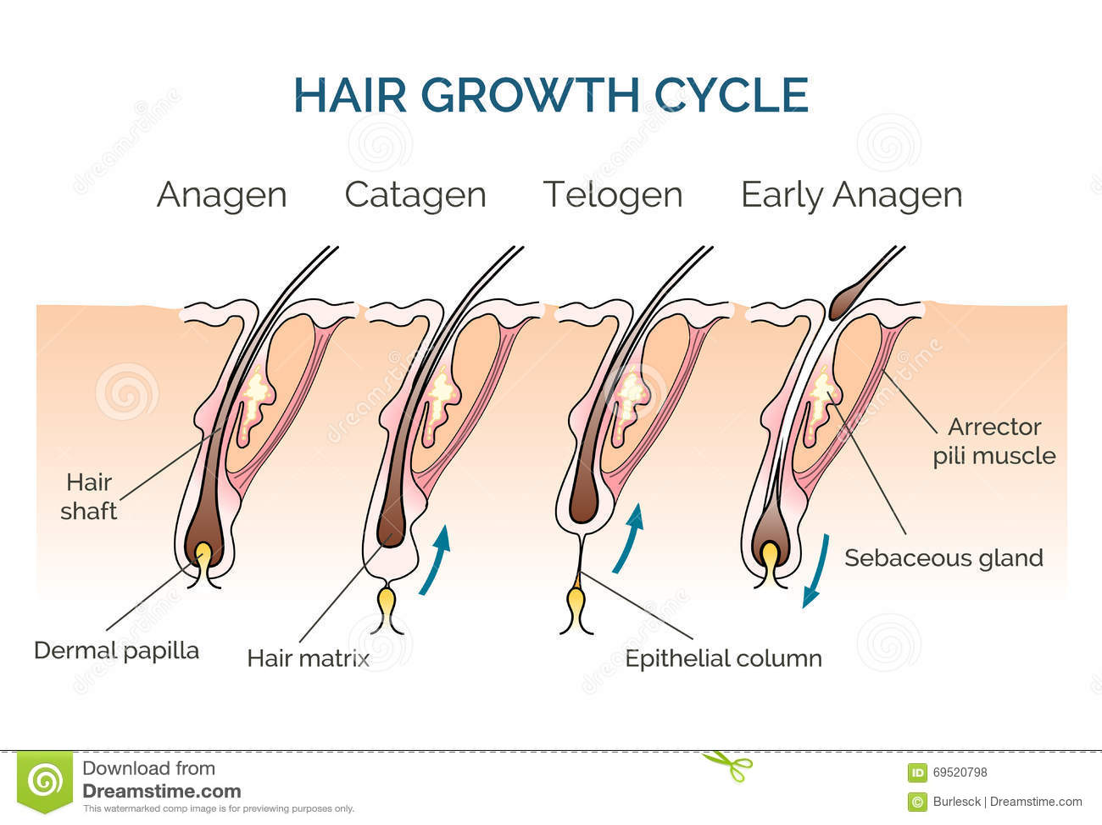 Hair growth cycle hair cycle science phase hair human hair growth