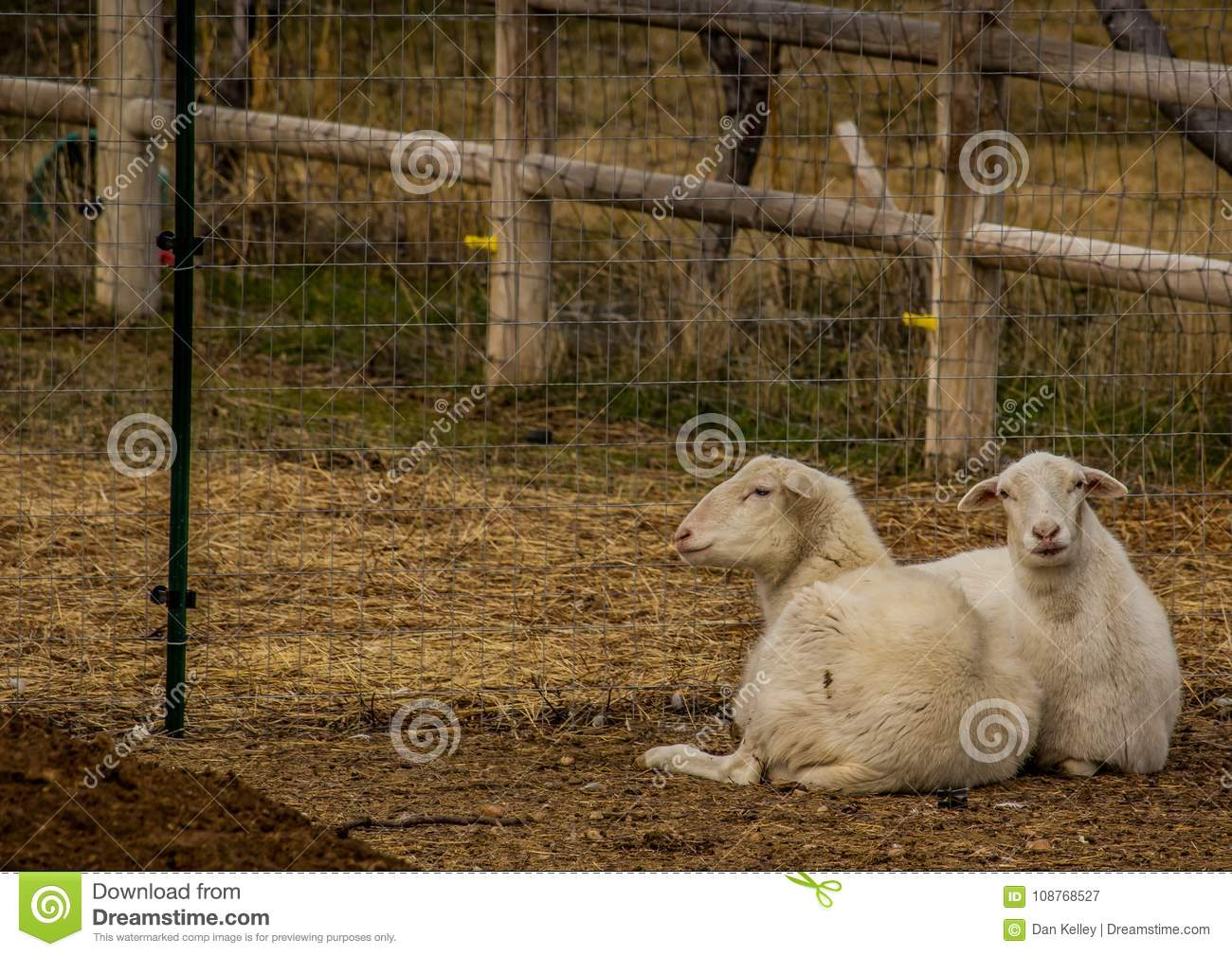 Hair Sheep In Pen In Boise Idaho Stock Image - Image of