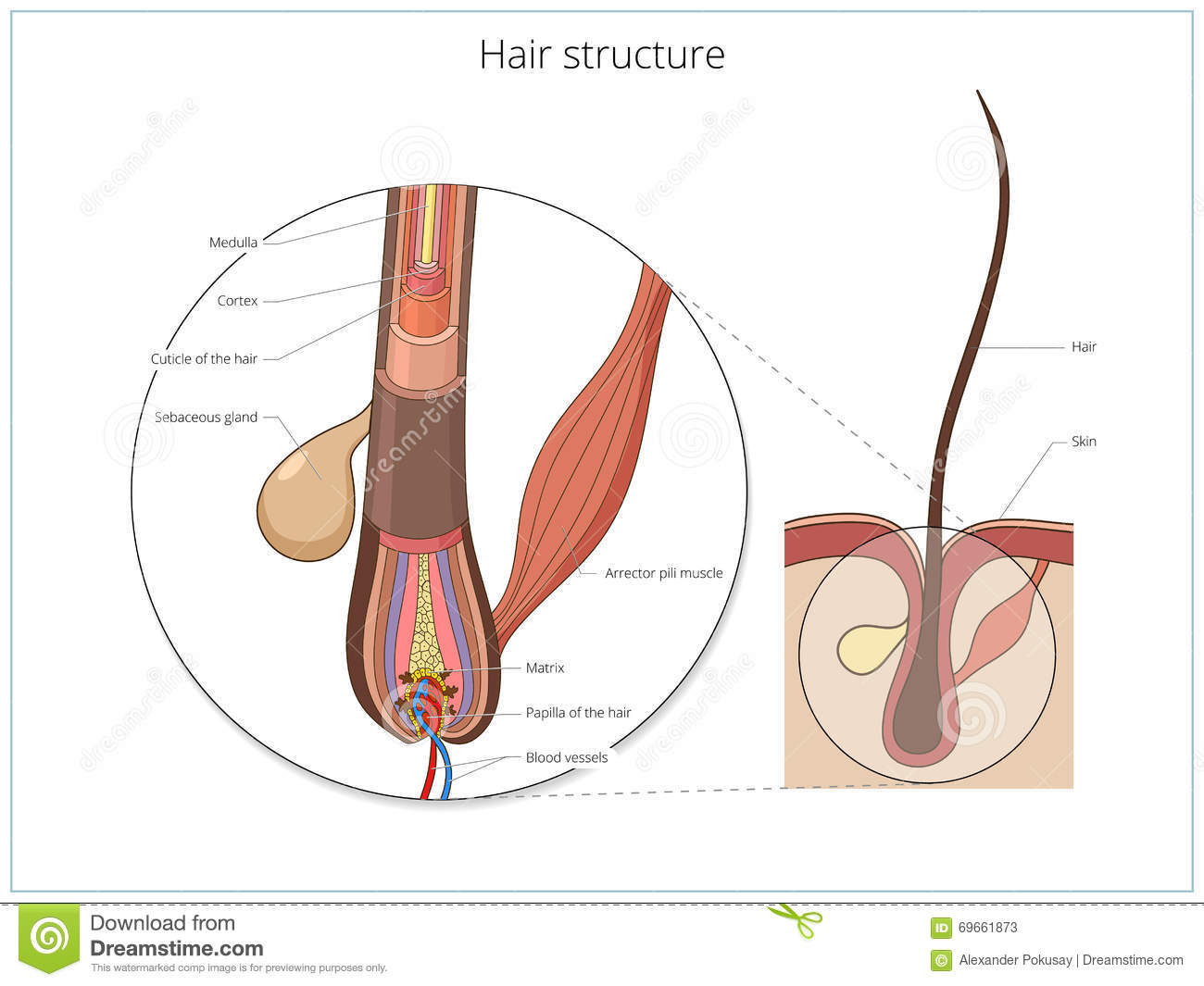 Hair Structure Medical Educational Vector Stock Vector ...