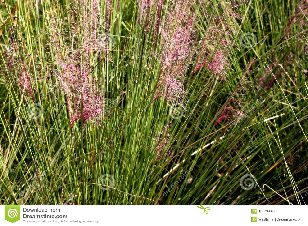 Hairawn Muhly Muhlenbergia Capillaris Stock Image Image Of Leaves