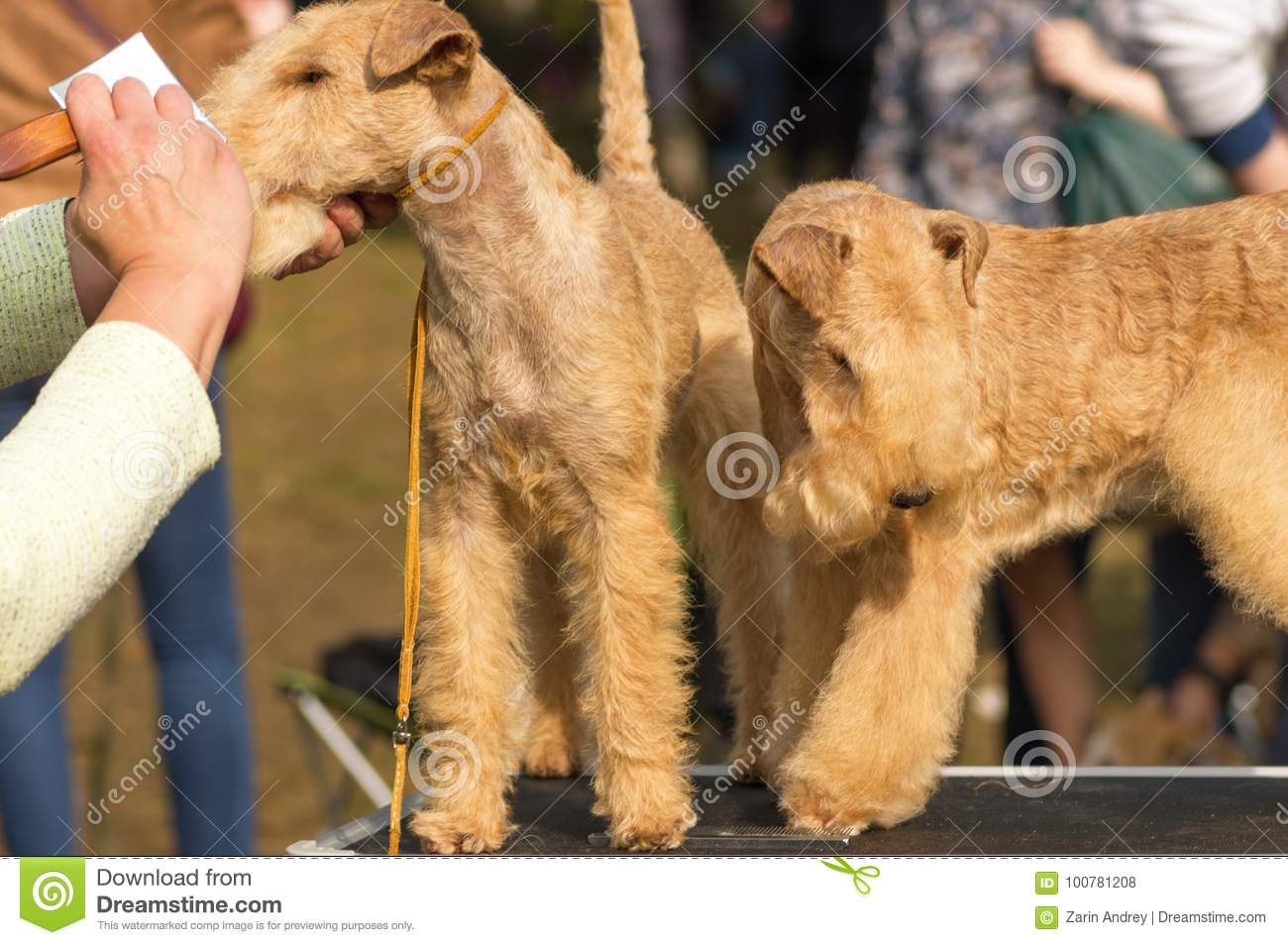 Haircut Dogs Professional Master Stock Photo Image Of Procedure