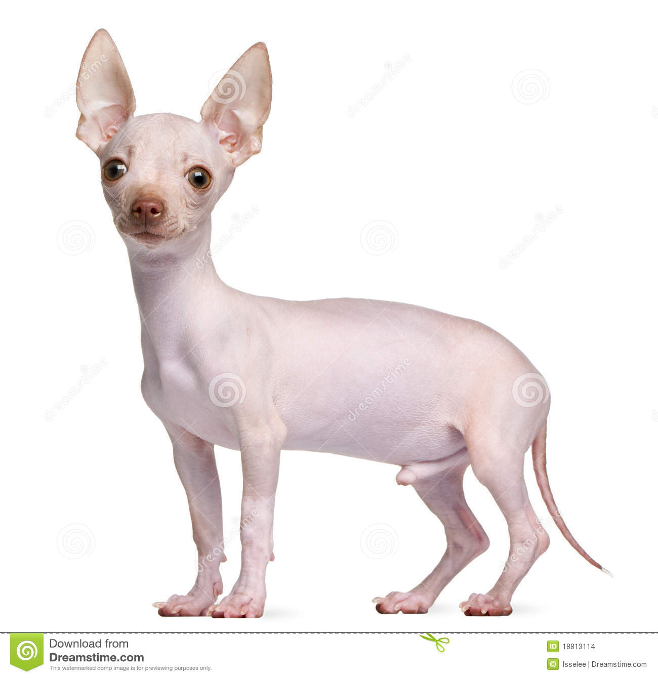 Hairless Chihuahua 5 Months Old Standing Stock Images