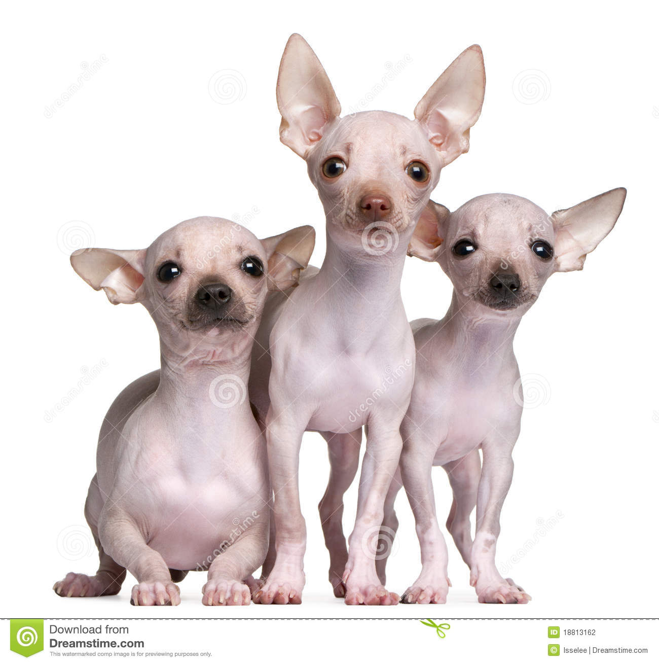 Hairless Chihuahuas, 5 And 7 Months Old Stock Photography ...