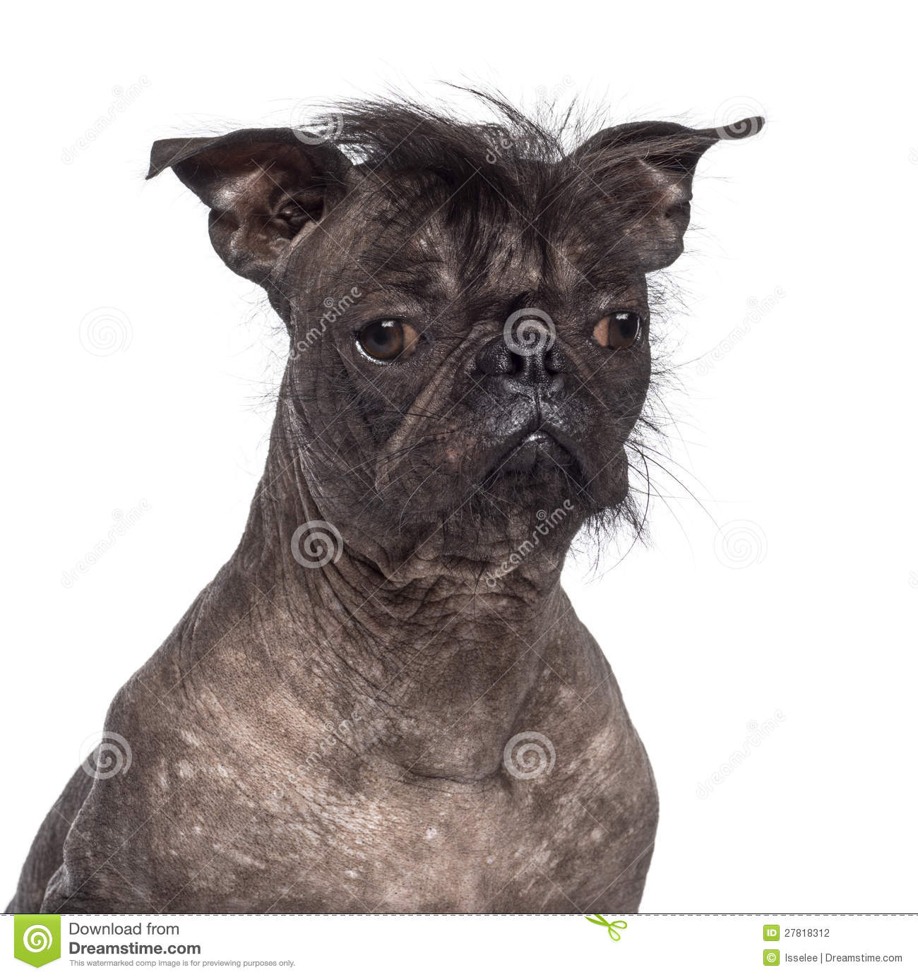 Hairless Dog, Mix Between French Bulldog Stock Photography - Image ...