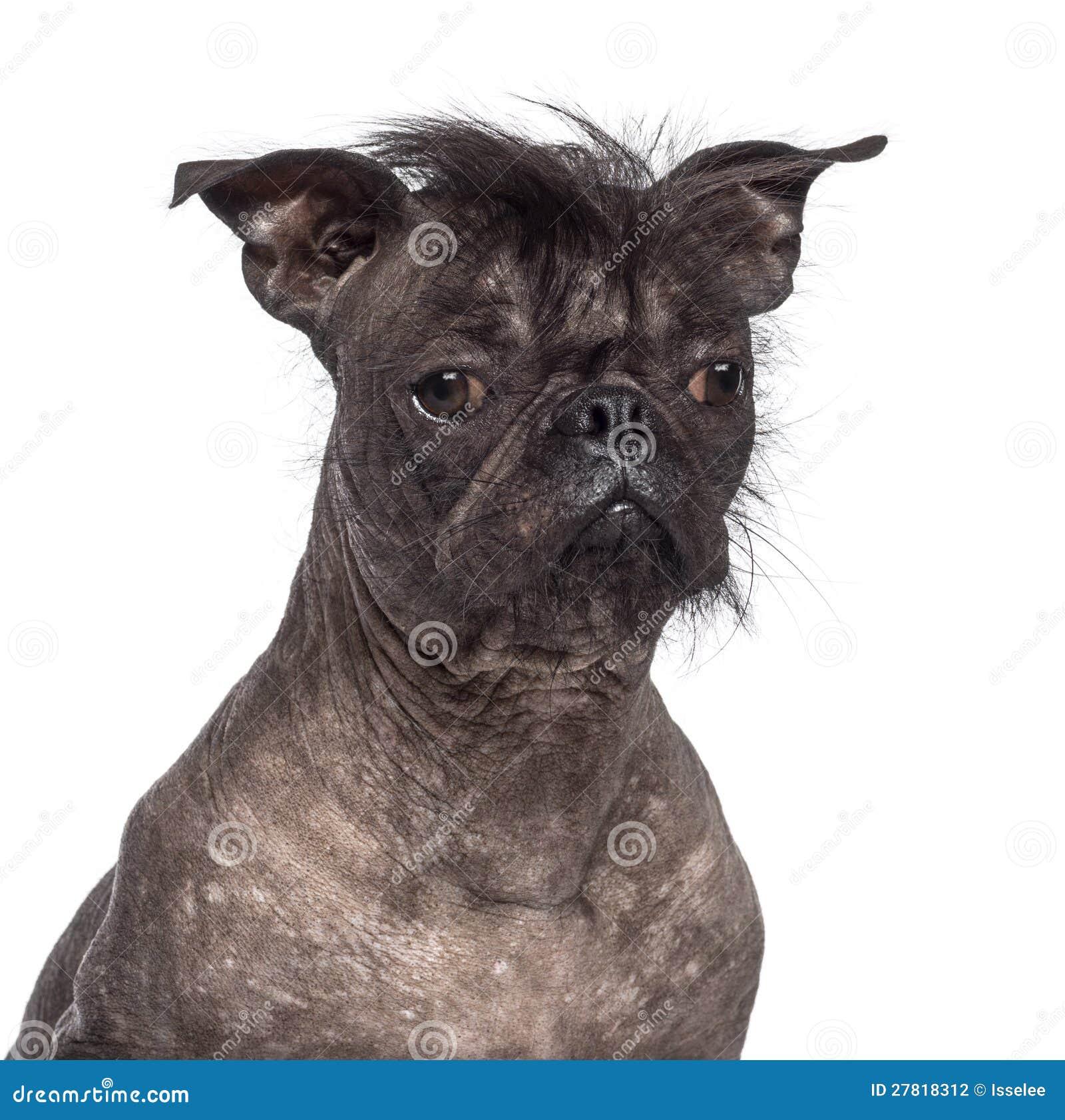 French Bulldog Lab Mix Puppies