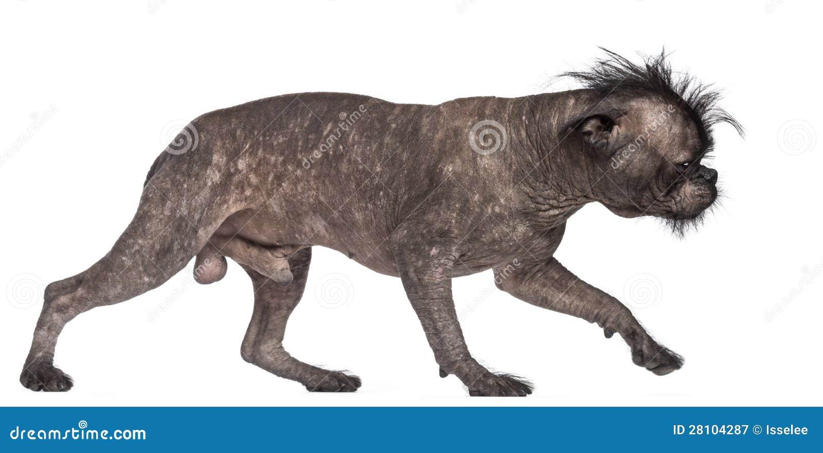 Hairless Dog, Mix Between French Bulldog Royalty Free ...