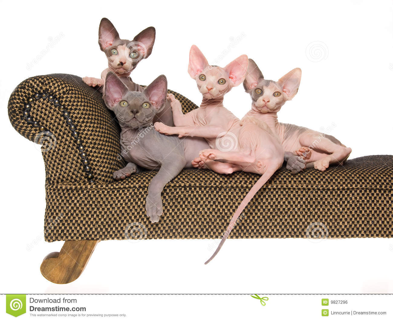 Hairless Sphynx Kittens On Mini Brown Couch Stock Photo