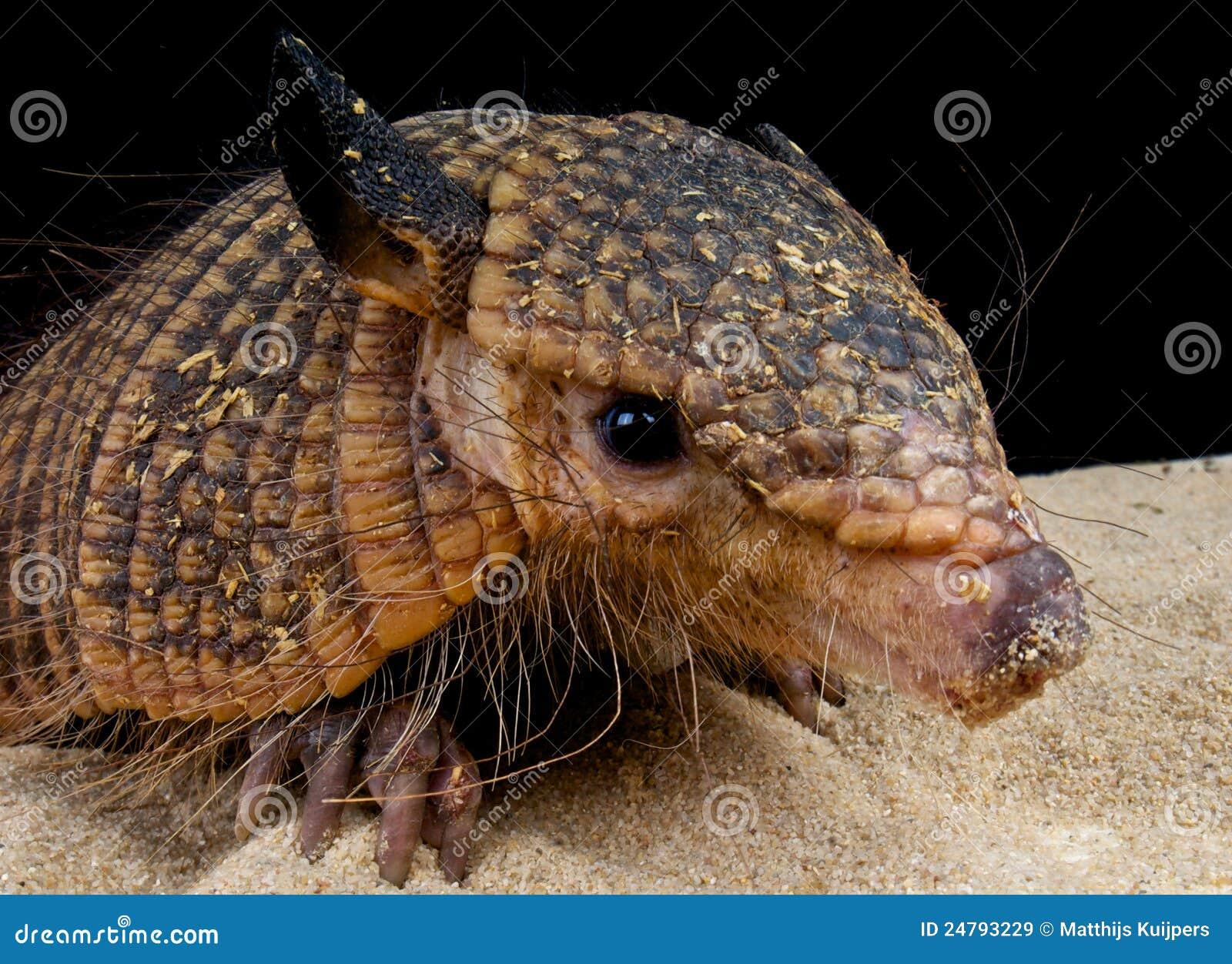 hairy armadillo stock image. image of pampas, armadillo - 24793229
