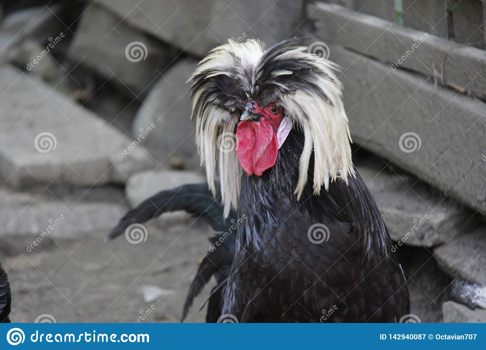 Hairy black and white rooster on grey background