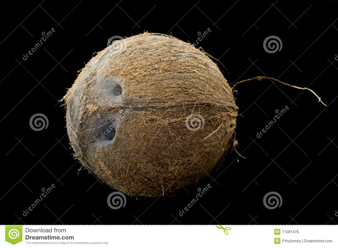 Fuzzy Black Background : Hairy coconut with black isolated background royalty free