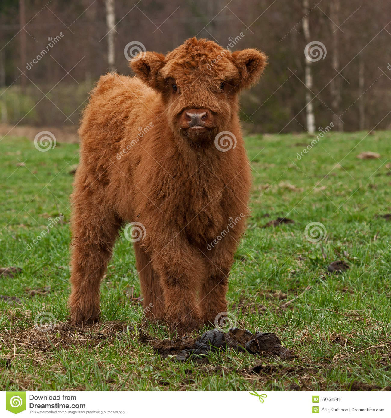 hairy cute calf of highland cattle in sweden stock photo image