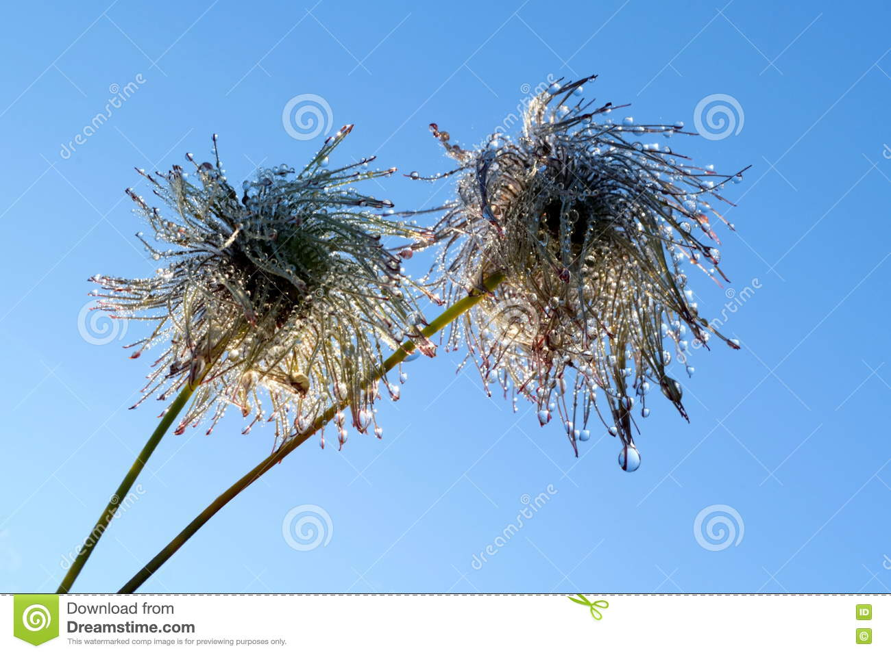 Hairy Heads Of Autumn Flowering Clematis Also Known As Old Mans Beard And Travellers Joy Covered In Rain Droplets Against Blue Sky