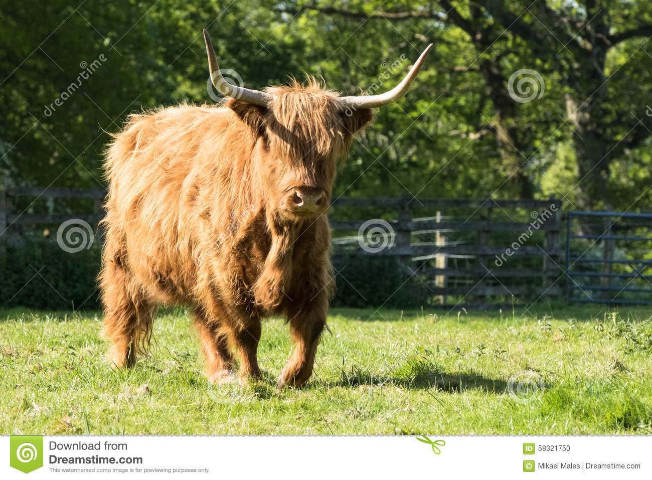 Hairy Highland Cow Walking In Grass Stock Photo - Image of ...