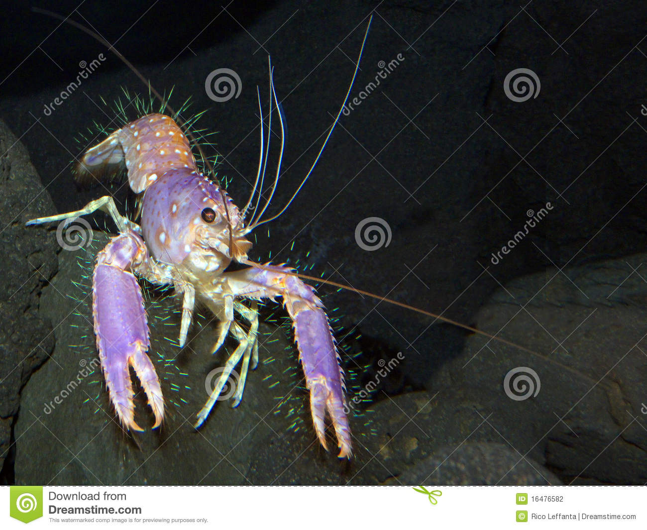 Hairy lobster picture