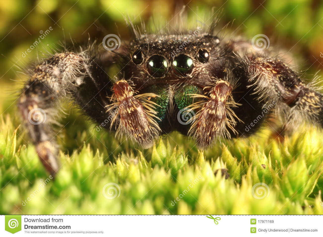 Hairy Spider With Large Eyes Close Up Royalty Free Stock