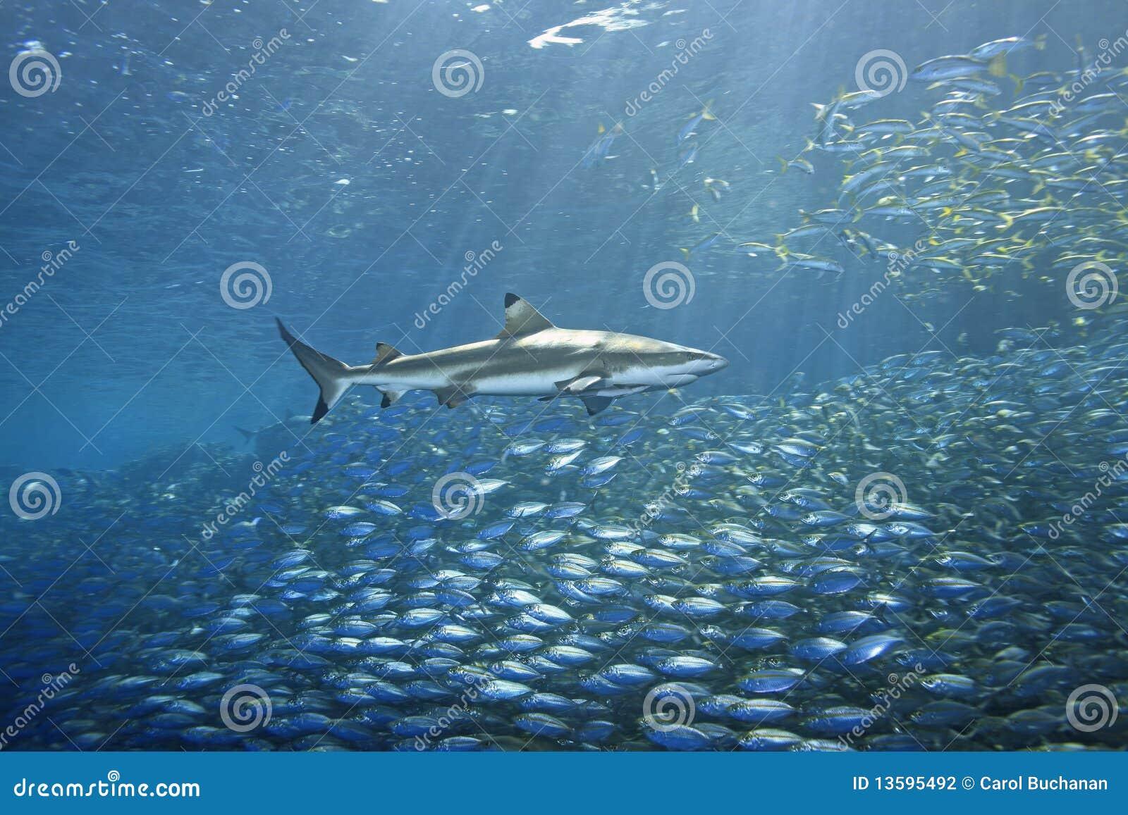 Haj för blacktipfiskrev