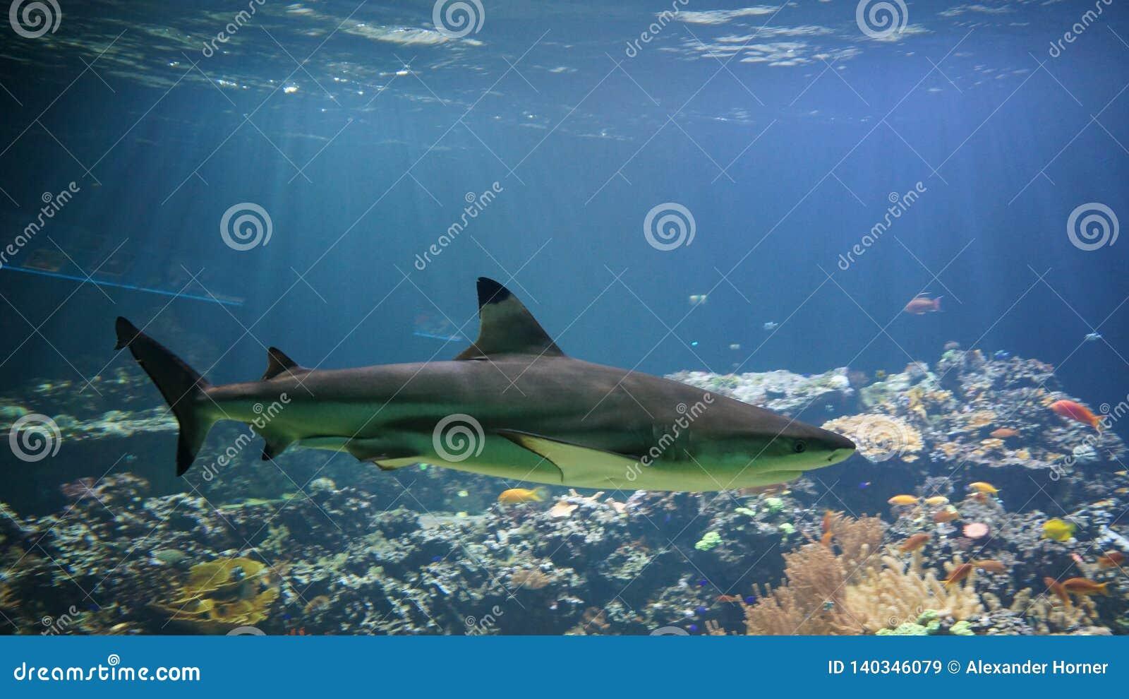 Haj som framme simmar av korallreven