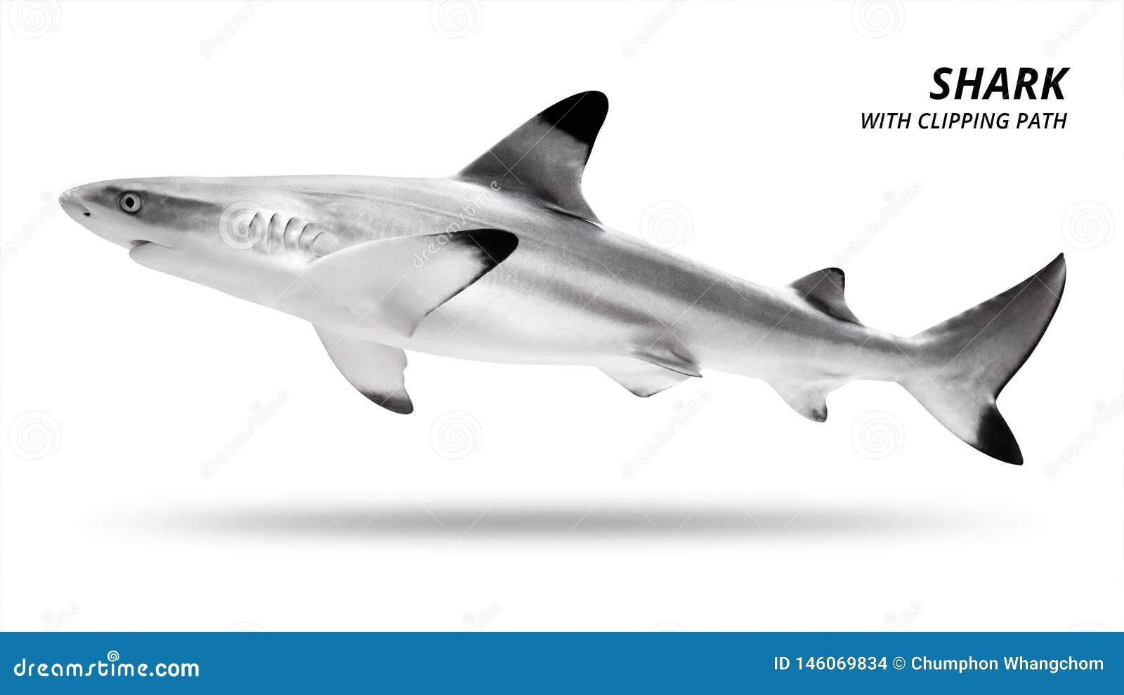 Haj som isoleras p? vit bakgrund Blacktip fisk Snabb bana