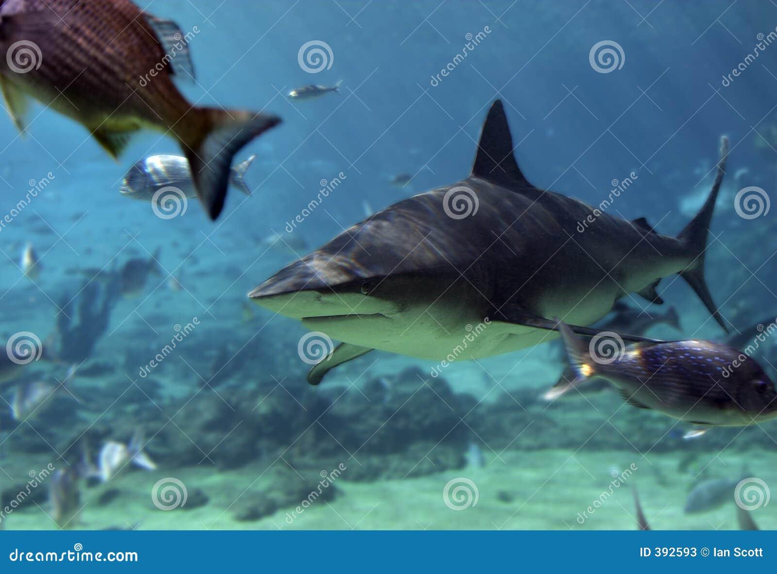 Hajsnapper