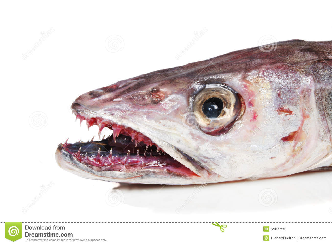 Closeup of head mouth and teeth of a Hake fish.