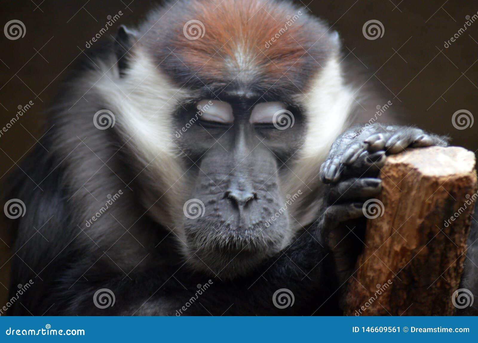 Hakuna Matata piękna małpa