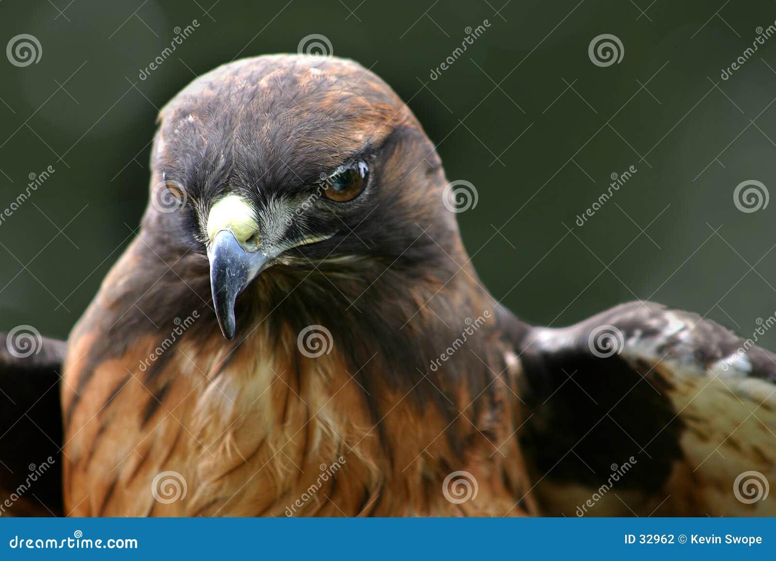 Download Halcón -1 foto de archivo. Imagen de fauna, pájaros, presa - 32962