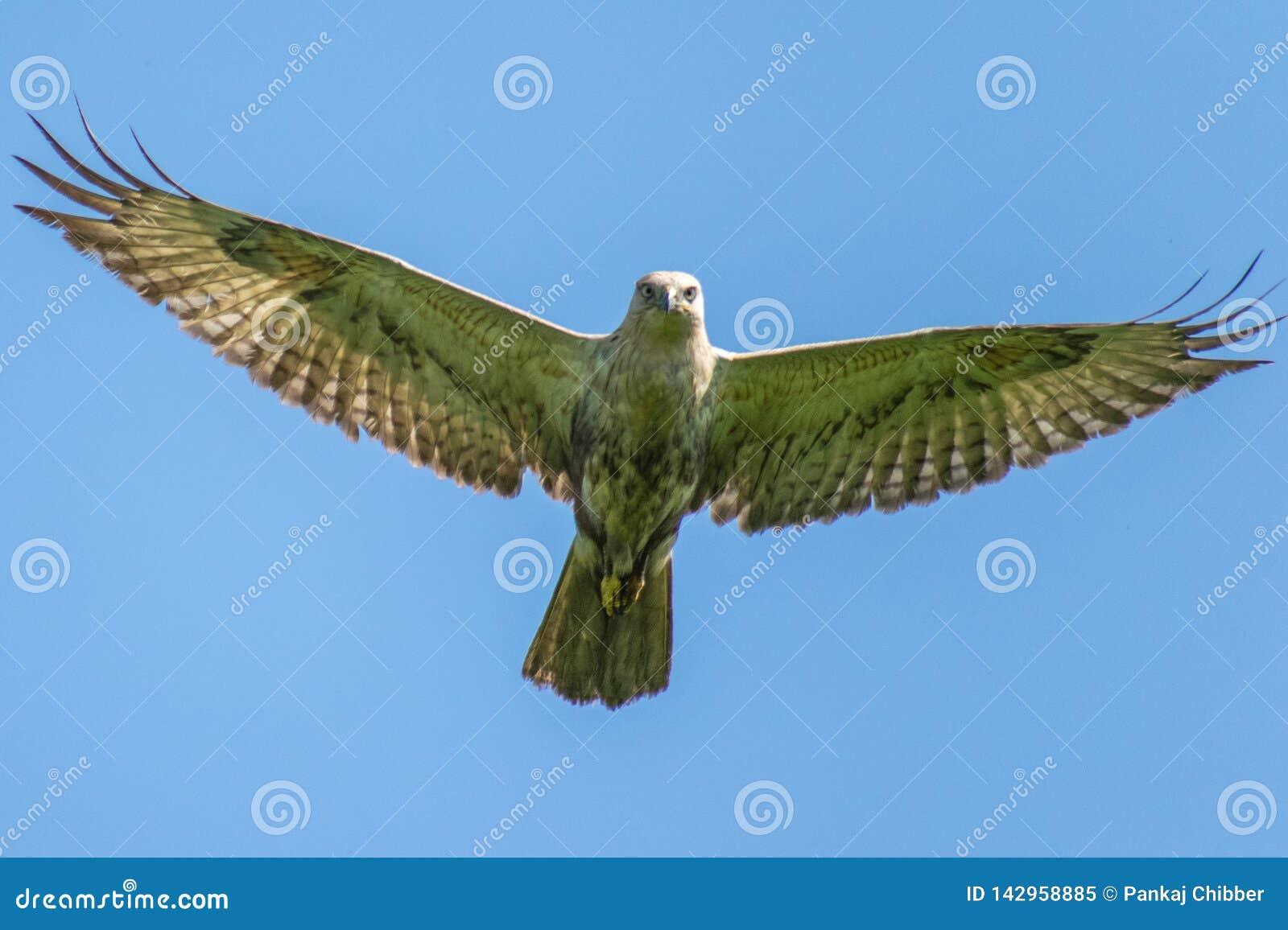 Halcón de la altiplanicie en vuelo