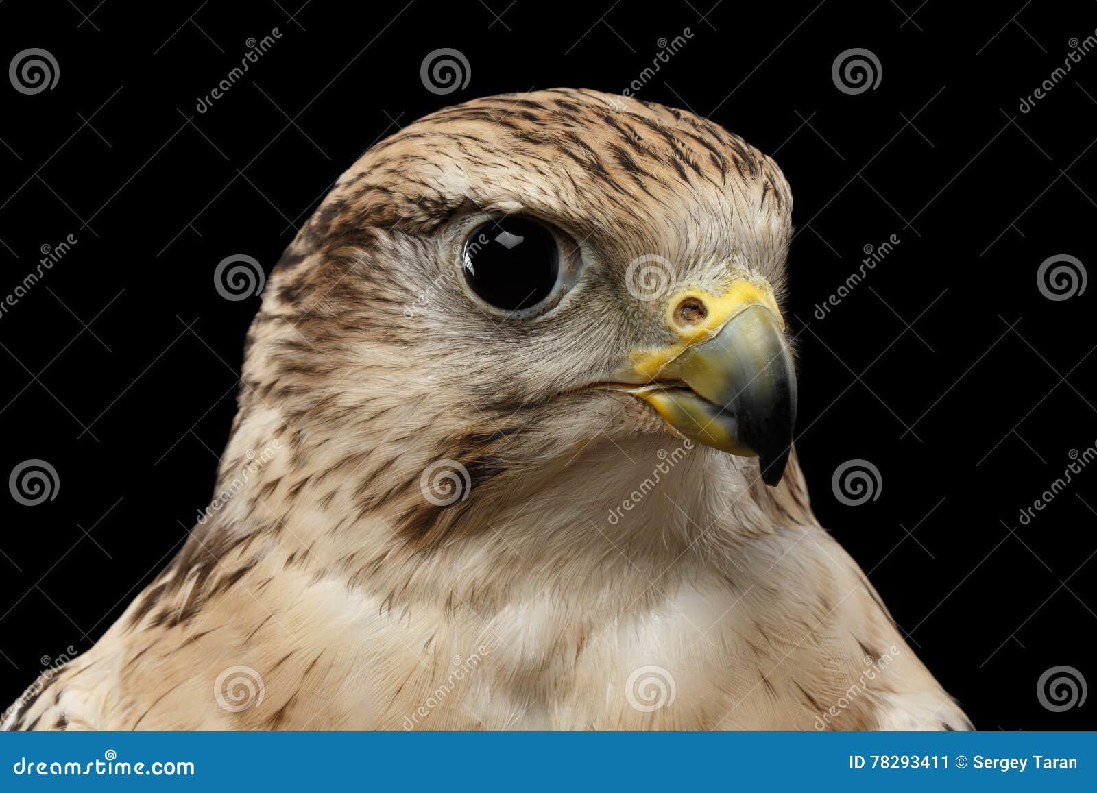 Halcón de Saker del primer, cherrug de Falco, aislado en fondo negro