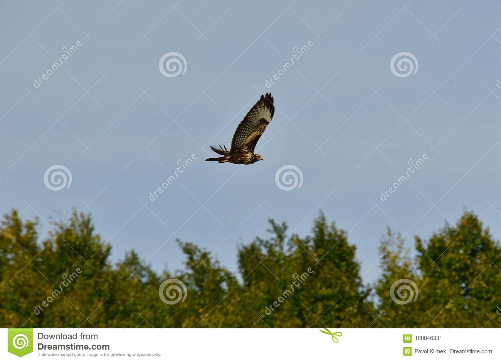 Halcón depredador que vuela sobre el bosque