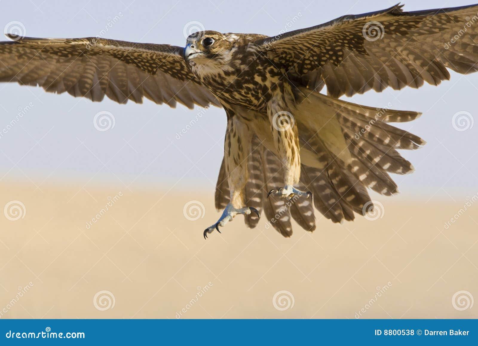 Halcón en vuelo